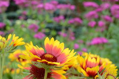 Flowers in the garden. Colorful flowers in a sunny garden Royalty Free Stock Images
