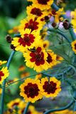 Flowers garden - coreopsis Royalty Free Stock Photo