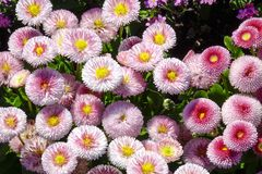 Daisy Bellis perennis. Flowers in the garden, Daisy Bellis perennis Royalty Free Stock Images