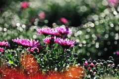 Flowers in the garden. The garden is full of red, yellow, pink flowers of all colors, beautiful Royalty Free Stock Photos