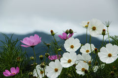 Flowers Garden on mountain. Cosmos Garden and mountain background in foggy day stock photo