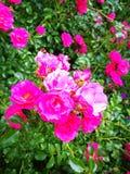 Flowers. Garden outdors pink Stock Photos