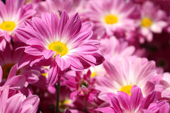 Flowers in the garden. Royalty Free Stock Photo