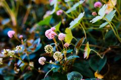 Small pink flowers in garden stock photos