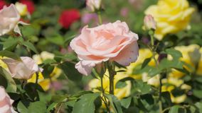 Flowers of garden rose is blooming in sunny day on green shrub in botanical orchard