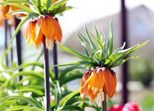 Flowers in the garden. Royal Crown Flower.  royalty free stock image