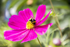 Flowers in the garden. Striped bumblebee collects pollen on a flower cosmos Stock Image
