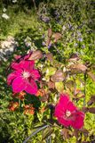 Flowers in a garden on a summer day. Red flowers in a garden on a sunny summer day with some green leaves and smaller violet colored flowers in the background Royalty Free Stock Images