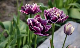 Tulip flowers growing in the garden Stock Photo