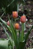 Tulip flowers growing in the garden Stock Image