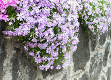 Flowers on the garden wall Stock Photography
