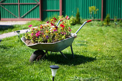 Flowers in the garden wheelbarrow Stock Images
