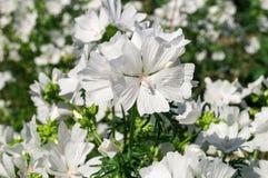 Flowers in the garden. White flowers in the sunny garden Stock Photo