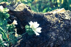 Flowers in the garden. White flowers in the sunny garden with wooden stump Stock Photos