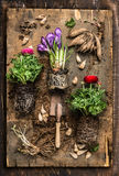 Flowers gardening with crocus, buttercups, scoop ,  root and bulbs on rustic wooden background, top. View Stock Photography