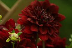 Flowers in gardens, Dahlia Arabian Night. Beautiful colors of garden flowers and more. Living in harmony with nature Royalty Free Stock Image