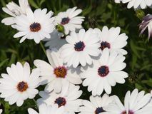 Flowers Gathering. Field of beautiful white flowers Royalty Free Stock Images