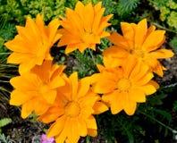 Flowers of a gatsaniya hardish (Gazania rigens (L. ) Gaertn. ) Stock Photography