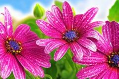 Flowers of Gazania against blue sky. (Splendens genus asteraceae Stock Image
