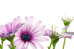 Flowers of Gazania with drops. (Splendens genus asteraceae) Stock Photos