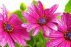 Flowers of Gazania with drops. (Splendens genus asteraceae) Royalty Free Stock Image