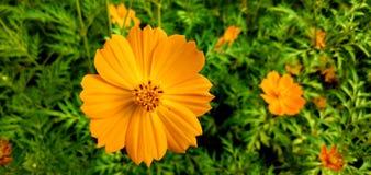 Flowers in gazipur. Nearby Dhaka City of Bangladesh royalty free stock photo