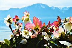 Flowers and Geneva lake, Montreaux, Switzerland Stock Photography