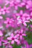 Flowers gentle pink petals closeup background Royalty Free Stock Images