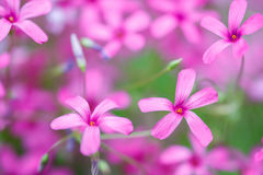 Flowers gentle pink petals closeup background. Royalty Free Stock Photo