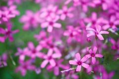 Flowers gentle pink petals closeup background. Stock Images