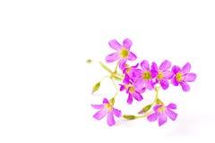 Flowers of geranium Stock Photo