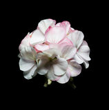 flowers of a geranium on black background. Royalty Free Stock Photography