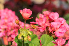 Flowers of geranium Royalty Free Stock Images