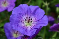 Geranium himalayense is a hardy plant Stock Photos
