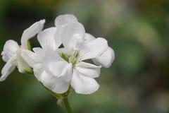 Flowers of geranium Pelargonium, white color close-up. Botany stock images