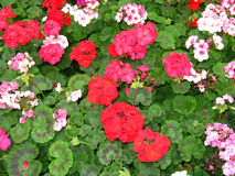 Flowers geranium. Flowers background. Royalty Free Stock Images