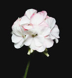 Flowers of a geranium on white background. Royalty Free Stock Image