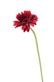 Flowers gerber. Gerbera flowers to white background Royalty Free Stock Photos