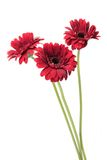 Flowers gerber. Gerbera flowers to white background Stock Photography