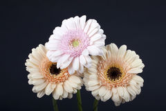 Flowers gerbera. Flower gerbera, on black background Royalty Free Stock Image