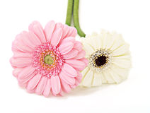 Flowers of gerbera Stock Photos