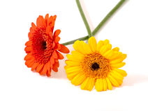 Flowers of gerbera Royalty Free Stock Photography