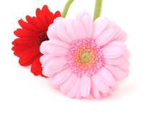 Flowers of gerbera Stock Images