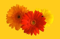 Flowers of gerbera Stock Photography