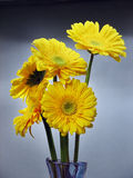 Flowers of Gerbera Daisy. On blue background Stock Images