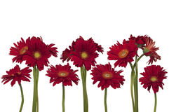 Flowers of gerbera isolated Royalty Free Stock Photo