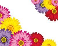 Flowers Gerberas Stock Photography