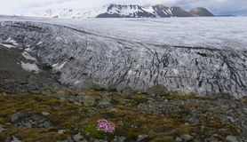 Flowers at the Glacier. Glacier in Iceland with pink flowers close to the ice Royalty Free Stock Photo