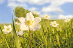 Flowers on glade. Beautiful white flowers on a green glade, on a background of the bright  blue sky with clouds Stock Photos