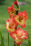 Flowers gladiolus. In Latin gladiolus means small sword. This name is perfectly suited to the noble, the brave flower with pointed leaves. The first mention of royalty free stock photography